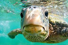 Say Aloha to Hawaiian Sea turtle, Oahu snorkeling tour with professional underwater photographer. Hawaii Oahu Tour