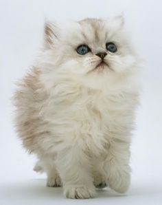 Silver chinchilla kitten....soooooo cute