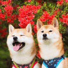 Love Shiba Inu's? Learn more about this breed at www.myfirstshiba.com