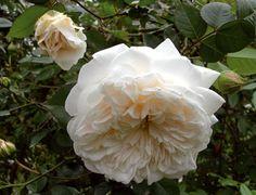 """Sombreuil Francia, Robert, 1850. """"Mlle de Sombreuil, Mme de Sombreuil"""". è una delle rose antiche più belle e non può assolutamente mancare in un giardino. Ha i fiori grandi e piatti, ricchi di petali, bianco crema con leggere sfumature di rosa, molto profumati. La forma del fiore è unica e la fioritura uno spettacolo. m 3,50x2,50."""