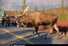 Image result for alaska bull moose