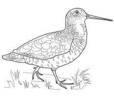 Woodcock Bird Coloring Page From Category Select 20946 Printable Crafts Of Cartoons