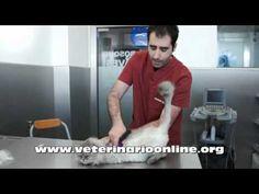 Como evitar las bolas de pelo en gatos - Veterinario Online - YouTube