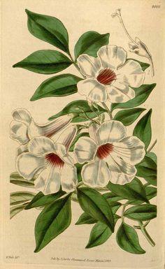 433 Pandorea jasminoides (Lindl.) Schumann [as Tecoma jasminoides Lindl.] / Curtis's Botanical Magazine, vol. 69 [ser. 2, vol. 16]: t. 4004 (1843) [W.H. Fitch]