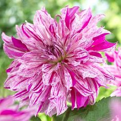 Dahlia Taihejo. This extra-fancy dinnerplate dahlia produces enormous 10