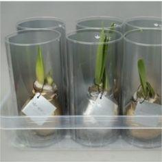 Christmas Presents, Xmas, Amaryllis Bulbs, Office Plants, Planting Bulbs, Large Flowers, Air Plants, Deli, Tube