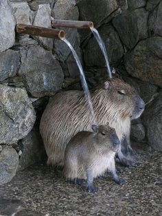 Capybara cuteness
