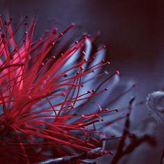 #red #redplant #redflower #flower #plantphoto #plantportait #flowerportrait #strangeplants #gardening #plantlife #leaves #photography #photooftheday #photographyislife #fujixt2 #fujifilm #fujifilm_xseries #xt2 #blue #naturephotography #naturesbeauty #nature #bright #colorful #colors #macro #macrophotography