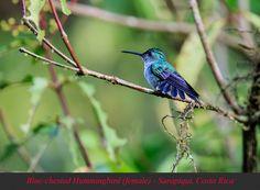 Blue-chested Hummingbird (female) - Sarapiqui, Costa Rica