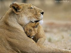 many lions and tigers get hunted while they are taking care of their cubs? that is why little girls save big cats are trying to help. They are also trying to get Katy Perry to sign a contract to help save big cats. Beautiful Cats, Animals Beautiful, Beautiful Pictures, Majestic Animals, Beautiful Family, Simply Beautiful, Big Cats, Cats And Kittens, Cats Bus
