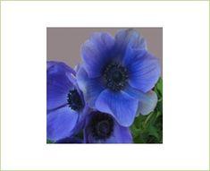 Jerusalem Blue - Anemone - Flowers and Fillers - Flowers by category | Sierra Flower Finder