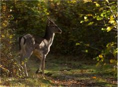 Fallow buck Brede high woods East sussex.