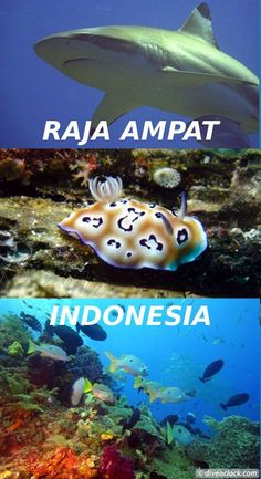 World class diving in Raja Ampat, Papua! Where to start when writing about one of the most beautiful places in the world? http://www.diveoclock.com/destinations/Asia/Indonesia/Papua_Raja_Ampat/ Dive o'clock! scuba diving | underwater | ocean | sea life | diving | coral reef | dive the world | scuba diver | dive instructor | underwater photography | duiken | tauchen | under the sea | divemaster | open water | PADI advanced |