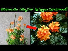 How To Grow And Care Crossandra Plant