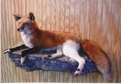 Faithful Foxes - Red Fox - A website all about foxes. Our goal is to educate and expand the world's knowledge on foxes not as pests, but pets! Pet foxes and friends gather here. We are an educational resource and a fox rescue. Melanistic Animals, Wat Do, Taxidermy Display, Melanism, Fox Images, Rare Animals, Strange Animals, Wild Animals, Pet Fox