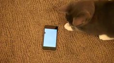 Cat App.  http://www.myspace.com/video/viralvideos/kitten-loves-iphone-apps/107007439