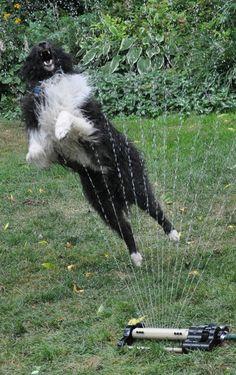 Three Dogs in a Garden: The Dog Days of Summer  Buddy enjoying the sprinkler