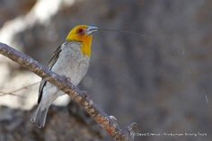 Sakalava Weaver with nesting material Madagascar, Highlights, Wildlife, Tours, Animals, Animales, Animaux, Luminizer, Animal