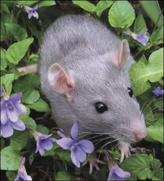 The Ultimate Guide to Raising and Caring for Pet Fancy Rats, Hairless Rats and Dumbo Rats Baby Animals, Cute Animals, Animal Babies, Small Animals, Dumbo Rat, Fancy Rat, Cute Rats, Rodents, Guinea Pigs