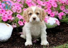 Nibbles | Cocker Spaniel Puppy For Sale | Keystone Puppies Spaniel Puppies For Sale, Cocker Spaniel Puppies, Cute Puppies, Design Development, Cute Animals, Friends, Dogs, Cocker Spaniel Pups, Pretty Animals