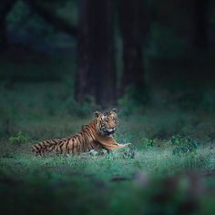 There's magic in this forest, believe in it or forever be blind to it. .  .  #wildlife #wildlifephotography #tiger #kabini #natgeo #natgeowild #earthcapture #bbcearh #love #nikonasia #nikonmea    #Regram via @shaazjung