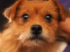"""12/5 - """"Dear Santa, Please help me find my forever family."""" Nov. 9, 2015 Adopt Fizig, a lovely 3 years Dog available for adoption at Petango.com.  Fizig is a Shih Tzu / Terrier, Yorkshire and is available at the National Mill Dog Rescue in Colorado Springs, Co.  www.milldogrescue.org #adoptdontshop  #puppymilldog   #rescue  #adoptyourfriendtoday"""