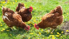 To own my own chickens - Penny and Daisy