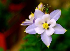One of my new faves....columbine!