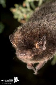 Bats that roost in trees instead of caves also have different strategies for surviving winter. Several of North America's most widespread bats live year-round in the foliage or hollows of trees. Many red, hoary and silver-haired bats (pictured) spend summers in the northern United States and Canada, then head south in August or September, often traveling in migratory waves along with small birds.