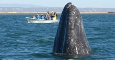 Banner Year for Whales in Baja! | Good Nature