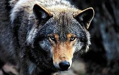 Wolf Attacks On Humans | Canis lupus Grey wolf Captive, photo was taken in March. / ©: Chris ...