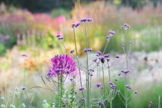 Cleome spinosa en Verbena bonariensis, ziet er mooi uit...
