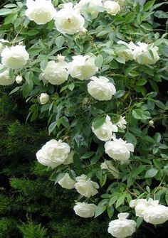 white iceberg rose