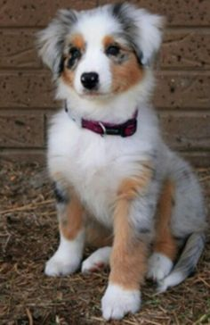 Australian Sheppard Puppy. Love it sooo cute. Perfect addition for the home