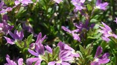 Coastal garden: Aussie Crawl Fan Flower: Scaevola 'Aussie Crawl'