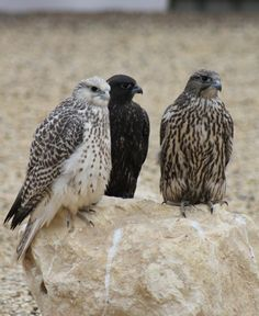 Young falcons by Armthorpe Falcons