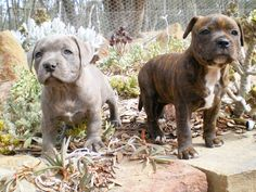 cute baby staffys..... ...........click here to find out more http://googydog.com