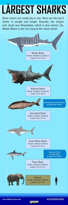#infographic about the largest sharks in the world. It is simple but informative, Do you like it?