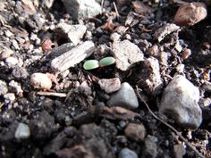 Spring's first sprout.