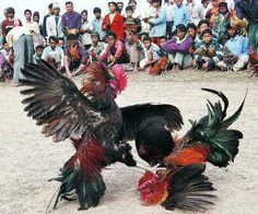 The Hindu : Nothing to crow about