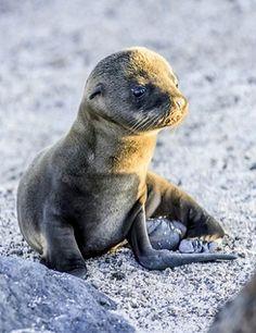 Newborn Galapagos Sea Lion (by RE Houseman)
