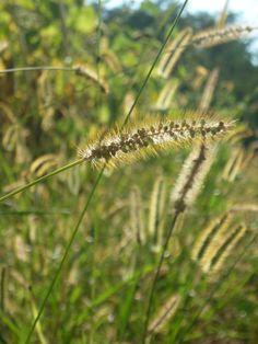 Grass Grass, Dandelion, My Photos, Nature, Flowers, Plants, Gardens, Naturaleza, Floral