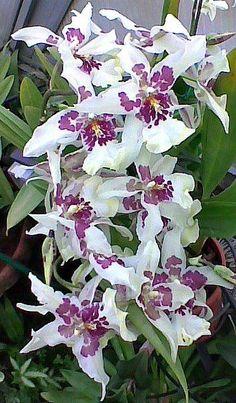 Beallara Patricia McCully   Beallara   Orchids!   Pinterest