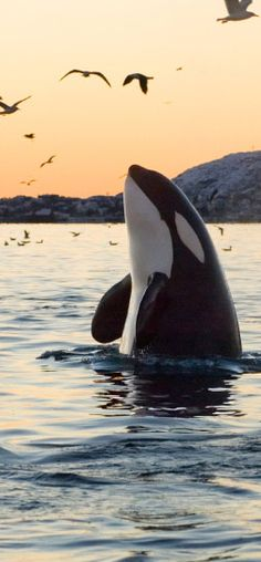~~Orca Whale breaching in the San Juan Islands • archipelago in Washington between the US mainland and Vancouver Island, British Columbia, Canada • photo: Hakan Karlsson~~