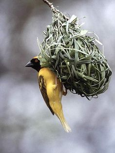 Photo of Masked Weaver, Kruger National Park, South Africa