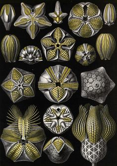 ernst Haeckel, Kunstformen der Natur (Art Forms of Nature), c. 1899-1904.
