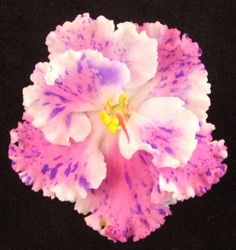 Houseplants That Filter the Air We Breathe Amour Elite - The Violet Barn - African Violets and then some Perennial Flowering Plants, Herbaceous Perennials, Purple Flowers, Beautiful Flowers, Beautiful Gardens, Saintpaulia, Inside Plants, The Violet, Sweet Violets