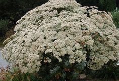 Eriogonum giganteum - St. Catherine's Lace