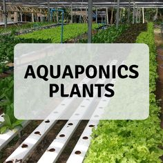 4 Easy Steps to Set-Up Your Own Backyard Aquaponics System - Tools And Tricks Club Best Fish For Aquaponics, Aquaponics Greenhouse, Backyard Aquaponics, Aquaponics Plants, Aquaponics System, Hydroponics, What Is Need, Water Plants, Growing Plants