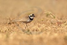 Little ringed plover eating nuts
